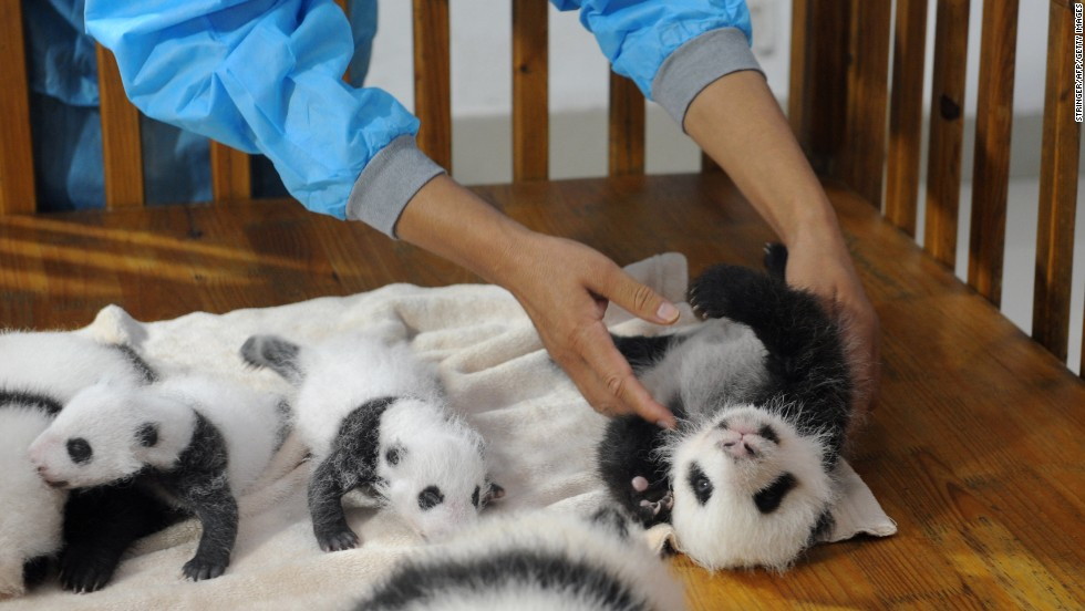 "Twenty panda cubs, of which 17 survived, were born between July and September this year. They are the newest additions to the 124-panda family at the <a href=""http://www.panda.org.cn/english/"" target=""_blank"">Chengdu Panda Base</a>."