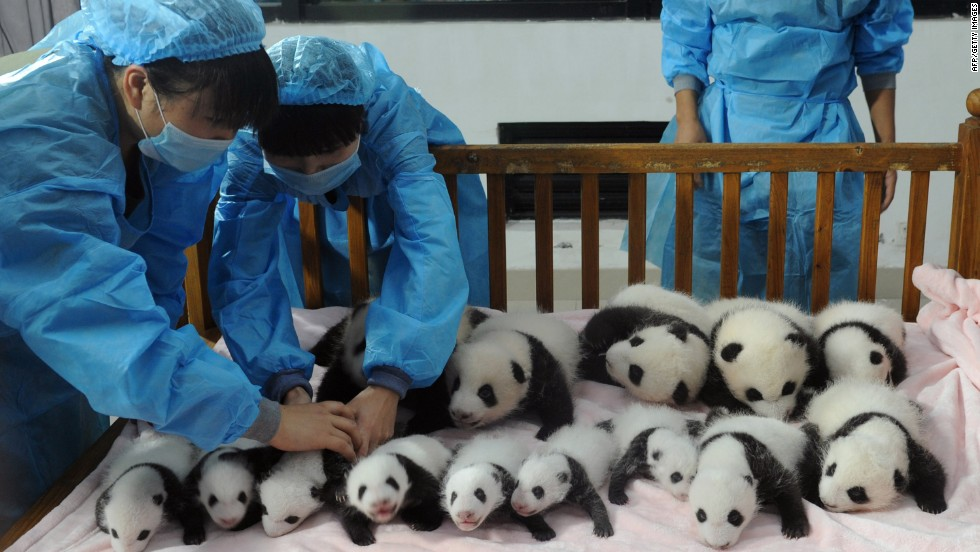 Pandas struggle to procreate due to infertility issues. In 2009, with the help of In-Vitro Fertilization, China conceived its first test-tube panda at the Wolong research facility, also in Sichuan.