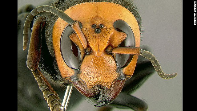 Hornets have stung several hundred people in China, killing at least 19. The Asian killer hornet, which may also be involved, is the world's largest hornet species and injects a powerful neurotoxin with its sting.