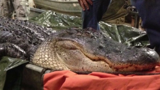 pkg ar man catches 1100 lbs gator _00001717.jpg