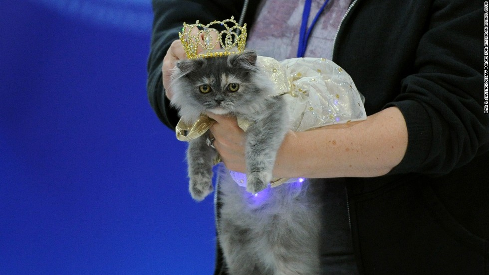 """Chastity,"" a Napoleon kitten, is wearing an ""Ada Nieves for Pets"" ""firefly"" gold light-up dress and a gold crown."