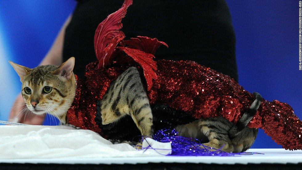 """Owner Janet Spain shows off """"Lightning,"""" a Savannah cat in a whimsical impression of a very fancy Dragon by """"Golden Couture."""""""