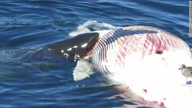 Great white sharks mun...