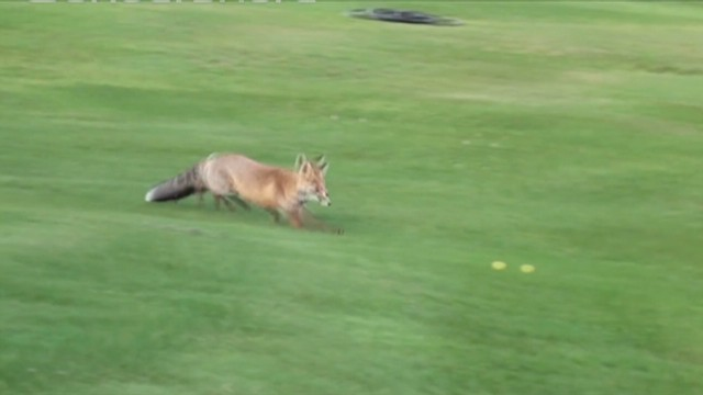 Watch fox steal golf balls