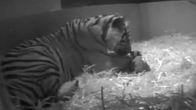 A tiger at London Zoo gave birth to the cub just three weeks ago.