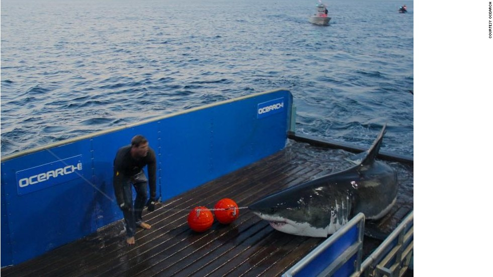 "Since launching in 2007, Ocearch has tagged over 100 sharks. But it wasn't until National Geographic started featuring the team in TV series <a href=""http://channel.nationalgeographic.com/wild/shark-men/"" target=""_blank"">""Shark Men,""</a> that McBride gained ""superhero"" status among fans."