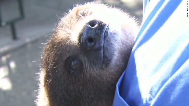 early san diego zoo sloth_00001021.jpg
