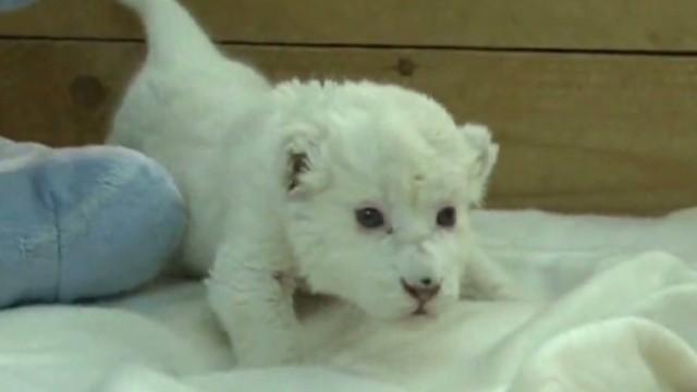 vo serbia rare white lion born_00000220.jpg