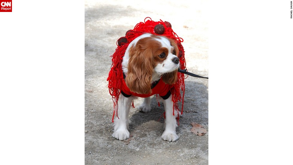 "The long, wavy ears of this King Charles spaniel complement strands of ""pasta"" in his costume. Cauvin couldn't resist taking a photo of this <a href=""http://ireport.cnn.com/docs/DOC-693227"">spaghetti-and-meatballs dog</a> at the Tompkins Square Park Halloween Dog Parade."