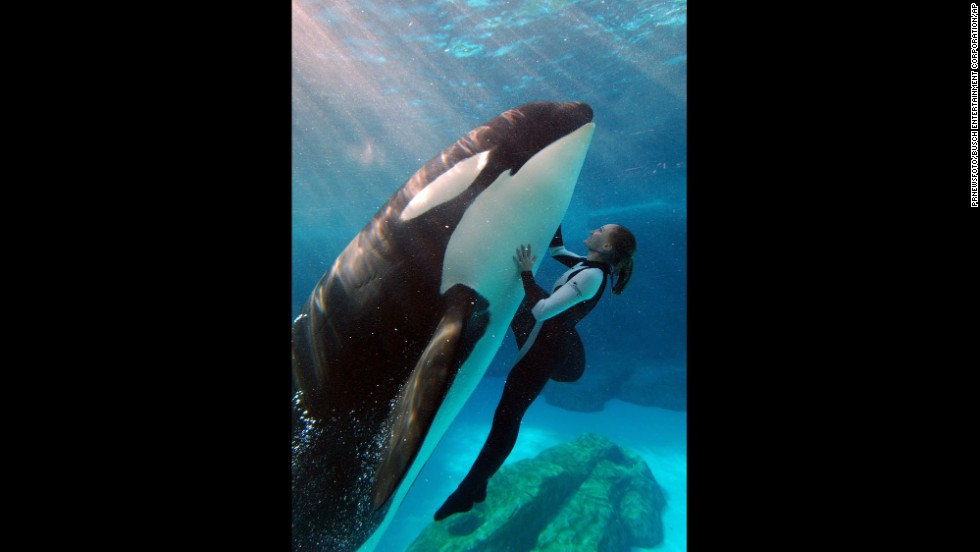 "Killer whales, or orcas, were first put on public display in the 1960s.   The best known killer whale shows in the United States are at SeaWorld Parks, which are synonymous with their ""Shamu"" killer whale shows, seen here."
