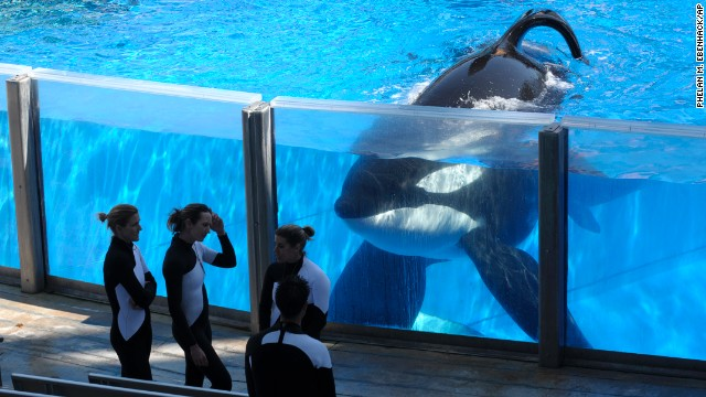 In this Monday, March 7, 2011 photo, killer whale Tilikum, right, watches as SeaWorld Orlando trainers take a break during a training session at the theme park's Shamu Stadium in Orlando, Fla. In an unprecedented lawsuit, People for the Ethical Treatment of Animals is accusing the SeaWorld marine parks of keeping five of its star-performer killer whales in conditions that violate the Constitution's ban on slavery. The suit, which PETA says it will file Wednesday, Oct. 26, 2011 in U.S. District Court in San Diego, hinges on the fact that the 13th Amendment, while prohibiting slavery and involuntary servitude, does not specify that only humans can be victims. (In this Monday, March 7, 2011 photo, killer whale Tilikum, right, watches as SeaWorld Orlando trainers take a break during a training session at the theme park's Shamu Stadium in Orlando, Fla. In an unprecedented lawsuit, People for the Ethical Treatment of Animals is accusing the SeaWorld marine parks of keeping five of its star-performer killer whales in conditions that violate the Constitution's ban on slavery. The suit, which PETA says it will file Wednesday, Oct. 26, 2011 in U.S. District Court in San Diego, hinges on the fact that the 13th Amendment, while prohibiting slavery and involuntary servitude, does not specify that only humans can be victims. (Phelan M. Ebenhack/AP)