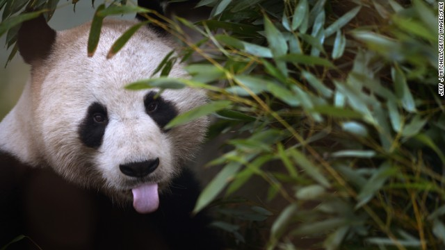 A panda feeds on bamboo during the breading season in February 2013 in Edinburgh, Scotland.