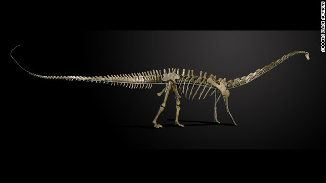 "This skeleton of ""Misty"" -- a female Diplodocus longus -- will be auctioned in England on November 27, 2013."
