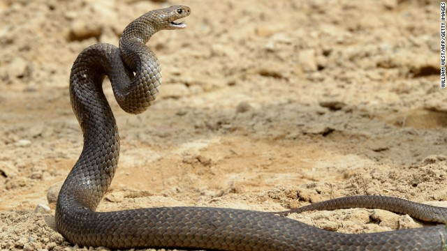 The  Australia eastern brown snake has enough venom to kill 20 adults with a single bite.