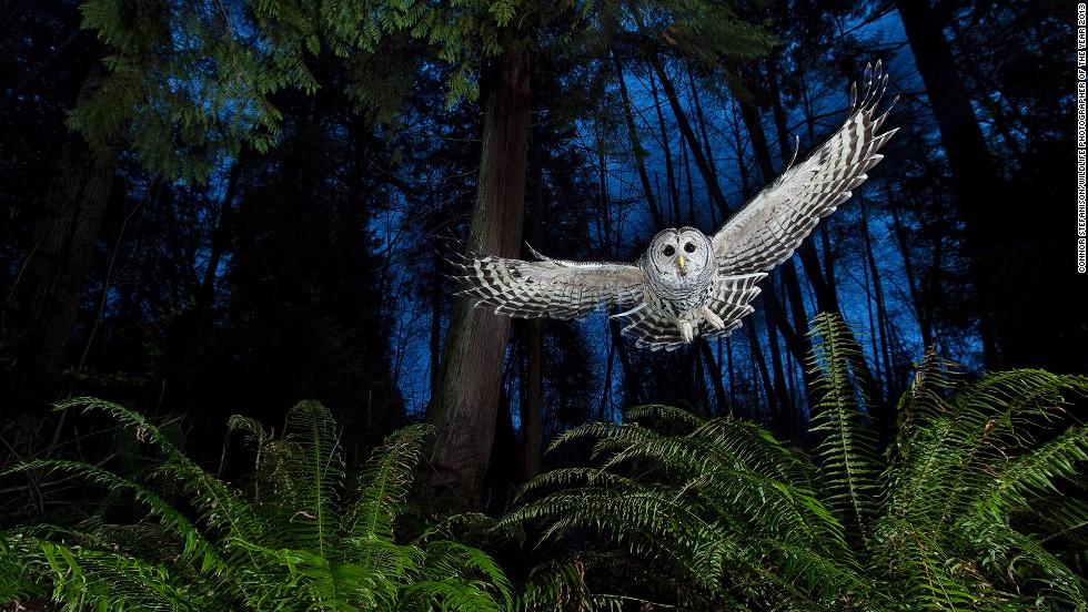 <strong>The flight path</strong><br />by Connor Stefanison (Canada)<br /><em><br />photo courtesy </em><em>Connor Stefanison</em>/<em>Wildlife Photographer of the Year 2013</em>