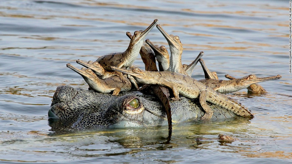 "<strong>Young Wildlife Photographer of the Year 2013</strong><br />Udayan Rao Pawar (India)<br /><em>Mother's little headful</em><br />The 14-year-old captured the scene of gharial crocodiles on the banks of the Chambal River in Madhya Pradesh, India.<br />""When dawn broke I saw this scene. The mother rose to the surface from the murky depths of the river in response to the guttural calls of hatchlings, which then rushed towards her and climbed over her exposed head,"" said Pawar.<br /><br /><em>photo courtesy Udayan Rao Pawar/Wildlife Photographer of the Year 2013</em>"