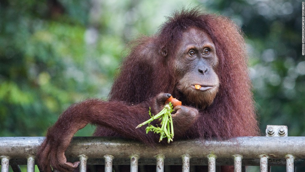 An endangered orangutan gets fed at a conservation center in Indonesia's Aceh province in March. Wild forests that support the orangutan are being chopped down in Southeast Asia to grow rows of trees that ultimately produce palm oil, which is used in candy and other packaged foods.
