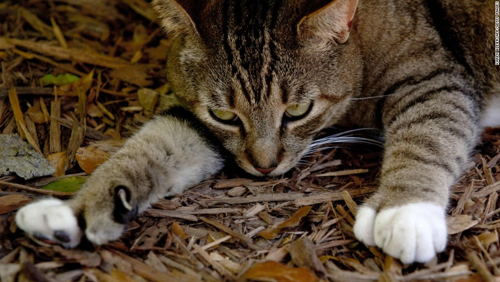 """For whom the toes toll. Count 'em -- six on each paw. Hemingway's Florida house is full of such """"polydactyl"""" pusses."""