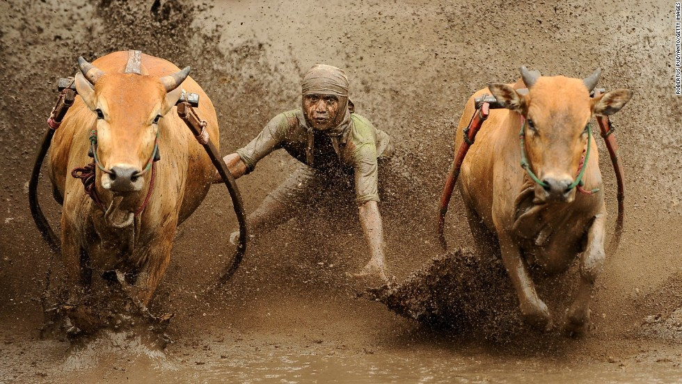 At the end of the rice harvest, farmers in the West Sumatra race their cows while surfing behind on a wooden plank. The sport -- called Pacu Jawi -- is meant to demonstrate the strength of the herd before they're sold at auction.