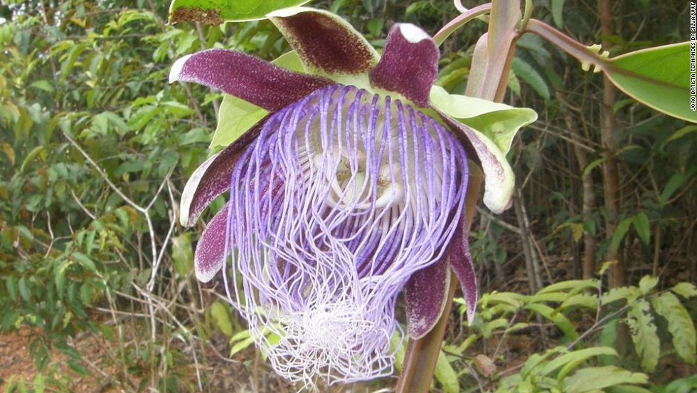 Passiflora longifilamentosa -- A new species of passion flower, with spaghetti-like filaments, was found in Brazil's Para state.