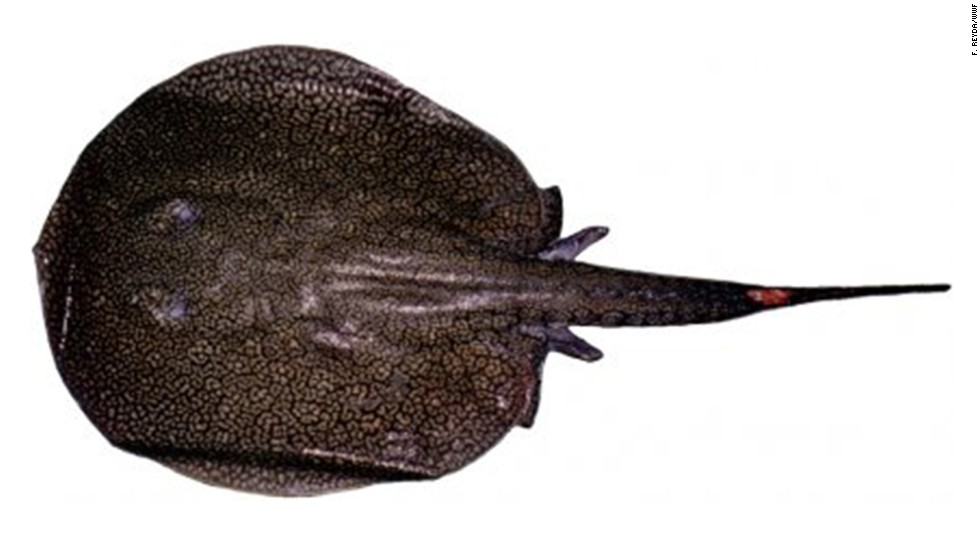Potamotrygon tatianae -- In Peru, in the Río Madre de Díos, a river stringray was found.