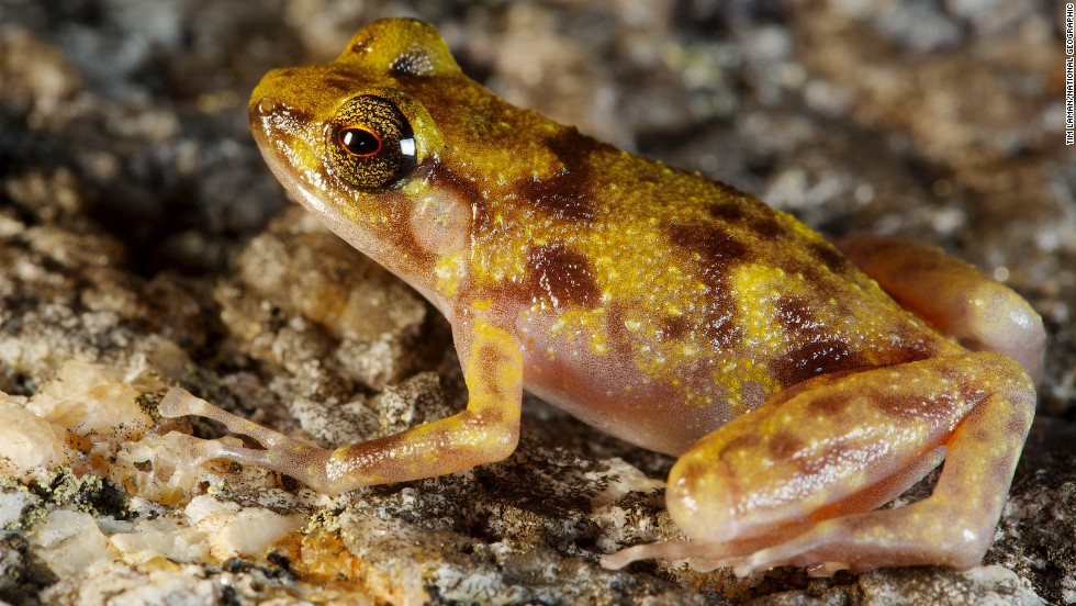 """This frog lives most of its life deep in the boulder fields where it is dark, cool and moist, and only comes to the surface when it rains."" Hoskin said."