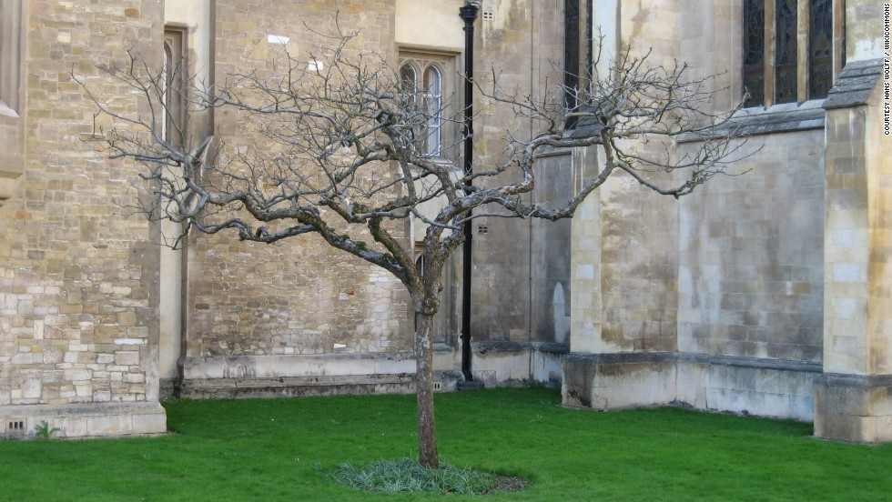 """Could this really be the tree under which Sir Isaac Newton sat and conceived the universal theory of gravity as an apple conked him on the head? Well, we're pretty sure it isn't, considering the story itself is widely considered to be apocryphal. But, according to the Isaac Newton Institute for Mathematical Sciences at the University of Cambridge, where Newton was a fellow, <a href=""""http://www.newton.ac.uk/art/tree.html"""" target=""""_blank"""">it was taken as a cutting from the alleged tree</a> at Newton's birthplace in Woolsthorpe Manor, UK. Other alleged cuttings have been replanted as far as Nebraska, Vancouver, and Tokyo."""