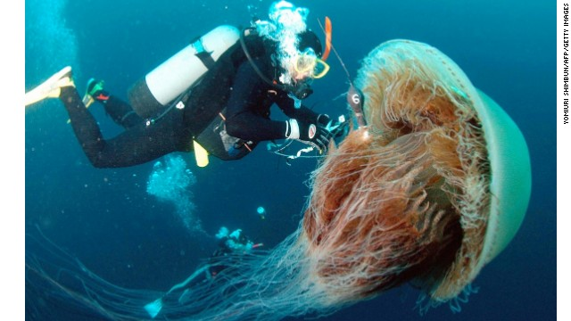 A diver attaches a sensor to a large Nomura's jellyfish off the coast of Komatsu in northern Japan. Large schools of these giant jellyfish, which have bodies ranging one to 1.5 meters in diameter, drift into Japanese waters in autumn and damage coastal fisheries.