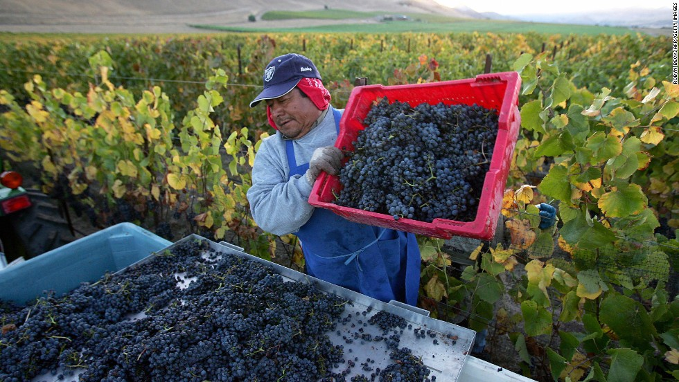 California's New World style leads with its fruit-forward wines. Pictured, a farm worker loads freshly picked Pinot Noir wine grapes onto a tractor in Santa Maria.