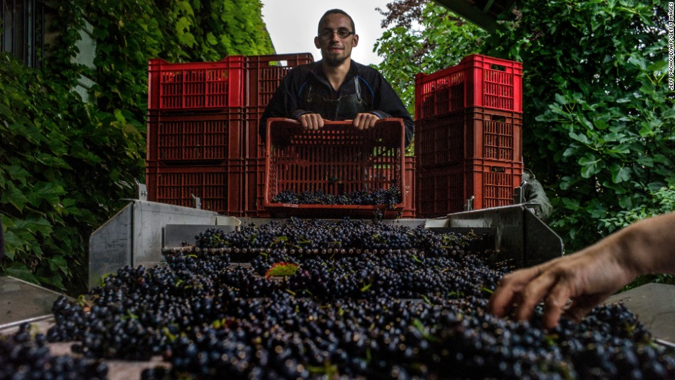 A worker empties a crate of grapes at a winery in the Meo-Camuzet domain in Vosne-Romanée during the harvest period in France.