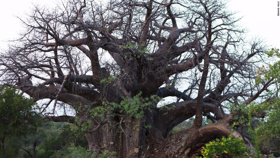 Last January, the group climbed Africa's biggest baobab in South Africa's Limpopo province.