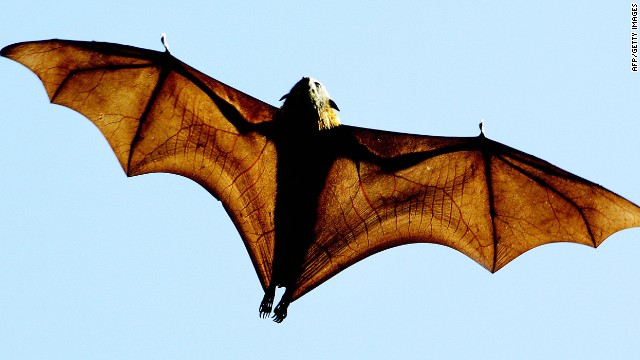 A grey-headed Flying-fox (Pteropus poliocephalus), a native Australian bat, stretches its leathery wings as it flies high over Sydney's Botanical Gardens, 17 August 2005.