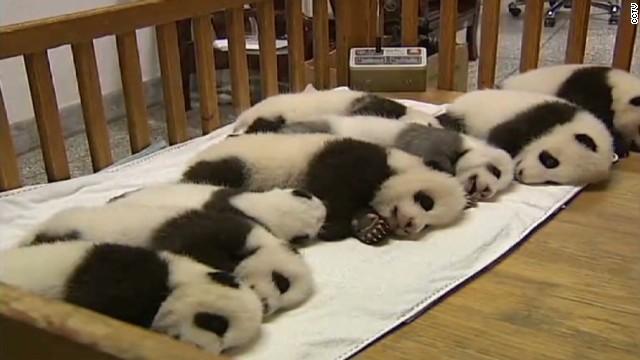 Shhh! 14 baby pandas napping
