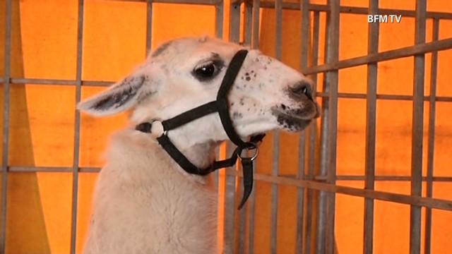 pkg mclaughlin france stolen llama _00001801.jpg
