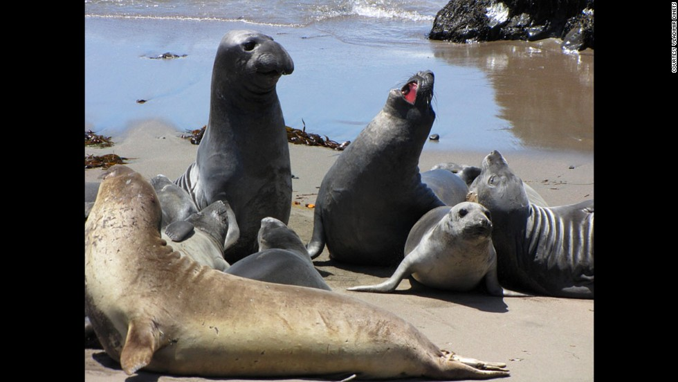Elephant seals enjoy the Monterey Bay, the best place to see marine mammals outside the Antarctic, says Dinets.