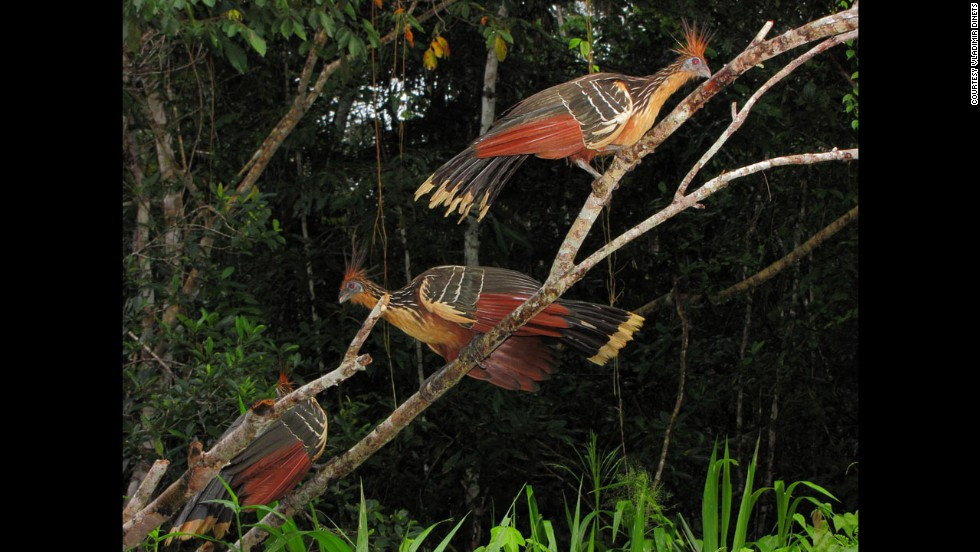 This part of Guyana is Dinets' favorite corner of the Amazon, beautifully preserved. Hoatzins, also known as stink birds, are shown here.