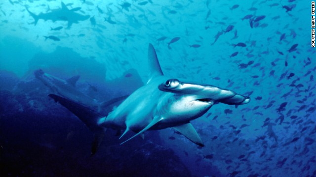 You can get up close to hammerheads in the waters off Bimini.