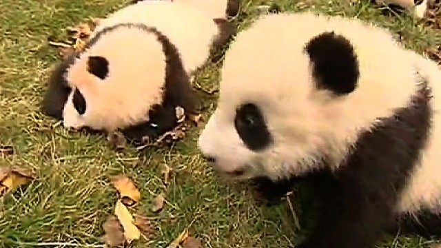 Baby pandas being trained in China