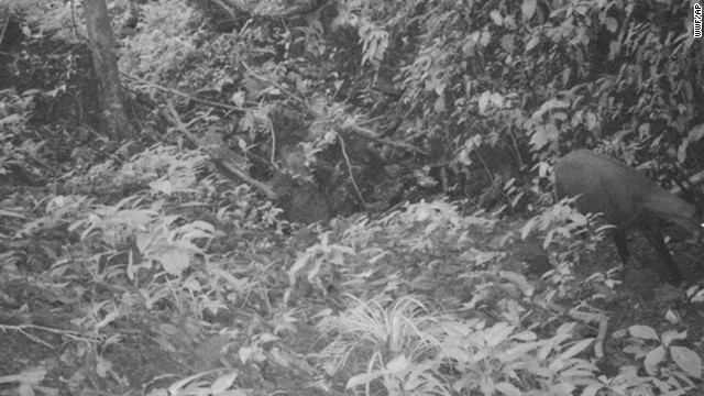 This Sept. 7, 2013 photo released by WWF, shows the Saola in a forest in Vietnam.