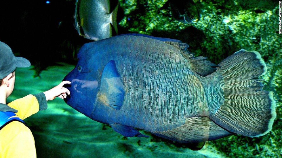 A schoolboy reaches out to touch a humpheaded Maori wrasse as it swims in the world's largest Great Barrier Reef exhibit at the Sydney Aquarium in June 2003. It is an enormous coral reed fish—growing over 6 feet long — with a prominent bulge on its forehead. Some of them live to be over 30 years old. WWF urges local governments in the Coral Triangle to stop the trade and consumption of humphead wrasse, one of the most expensive live reef fishes in the world.