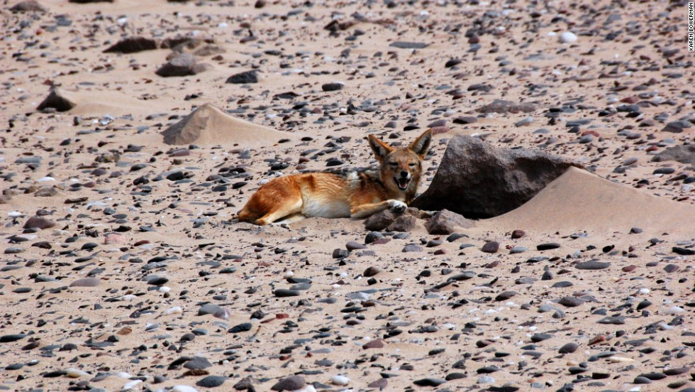 With whale corpses galore, jackals must once have had a feast on the Skeleton Coast -- here one rests on the sand.