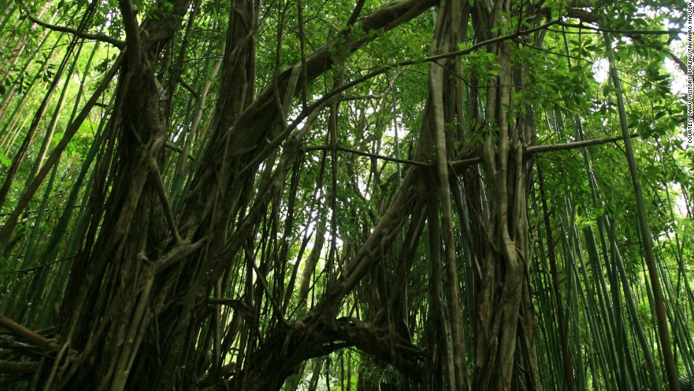 The Manoa Valley Trail system, which became part of the Arena's jungle, is a series of strenuous hikes that will test your Katniss-like endurance.