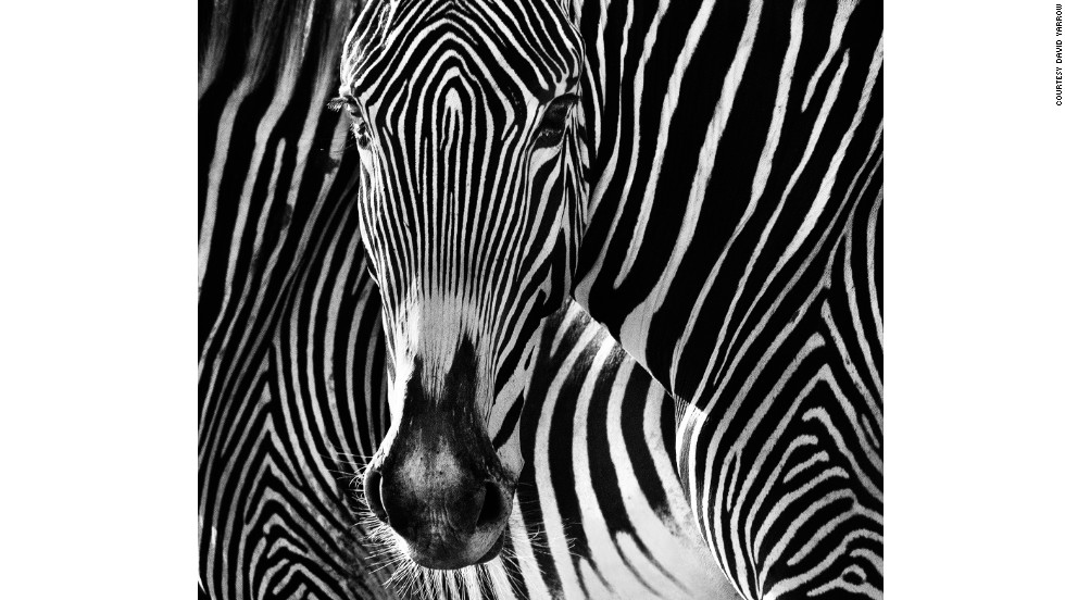 """Zebras are not photographers' friends,"" says Yarrow. ""They couple a rather clumsy running style with skittish nerves and herd instincts. The Grevy's Zebra of East Africa offers the best chance of proximity and also -- by good fortune -- the best facial aesthetics."""