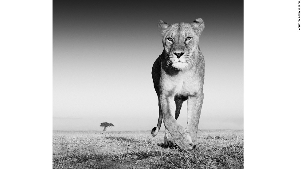 To attract a lioness for this shot, Yarrow covered his camera's casing in Old Spice stick aftershave.