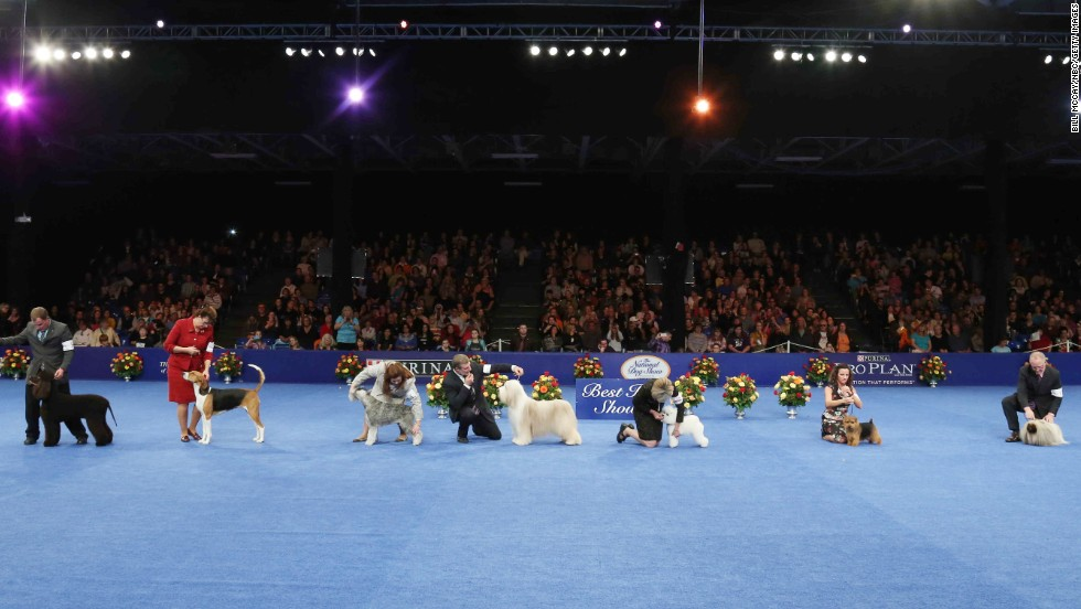 Jewel went up against an Irish water spaniel, a standard schnauzer, bearded collie, a bichon frise, a Norfolk terrier and a Pekingese for the title of best in show.