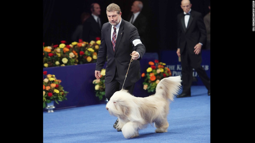 The winner of the herding group was Fawny, a bearded collie.