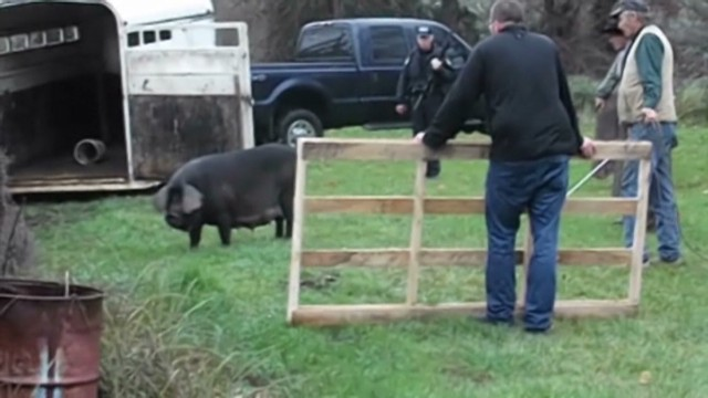 dnt or pig on the loose_00014827.jpg