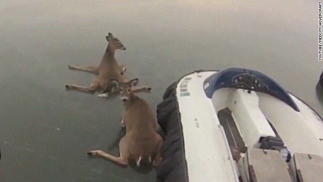 Deer hitch ride on hovercraft
