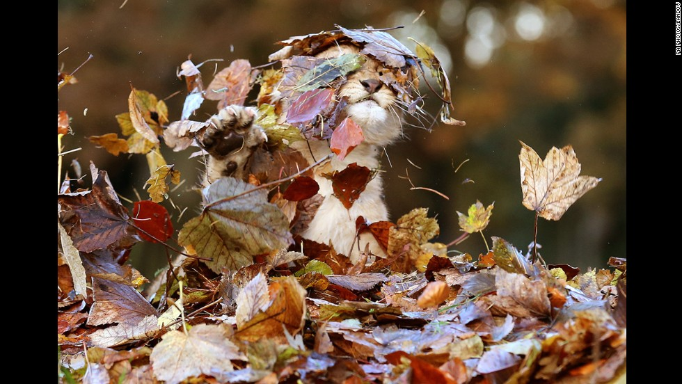 <strong>November 21:</strong> Karis, an 11-week-old lion cub, plays in fallen leaves in her enclosure at Blair Drummond Safari Park near Stirling, Scotland.