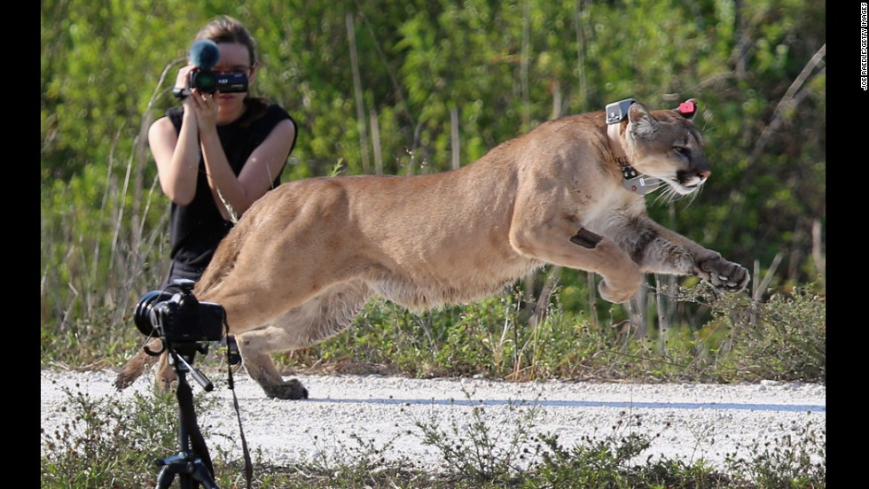 <strong>April 3:</strong> A 2-year-old Florida panther is released into the wild by the Florida Fish and Wildlife Conservation Commission in West Palm Beach, Florida. The panther and its sister had been raised at the center since they were 5 months old. They were rescued after their mother was found dead.